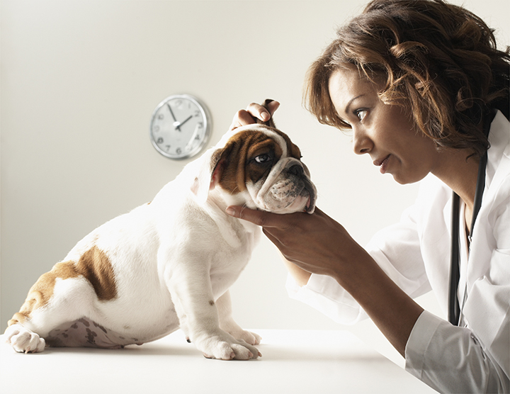 female veterinarian giving a bulldog puppy a checkup